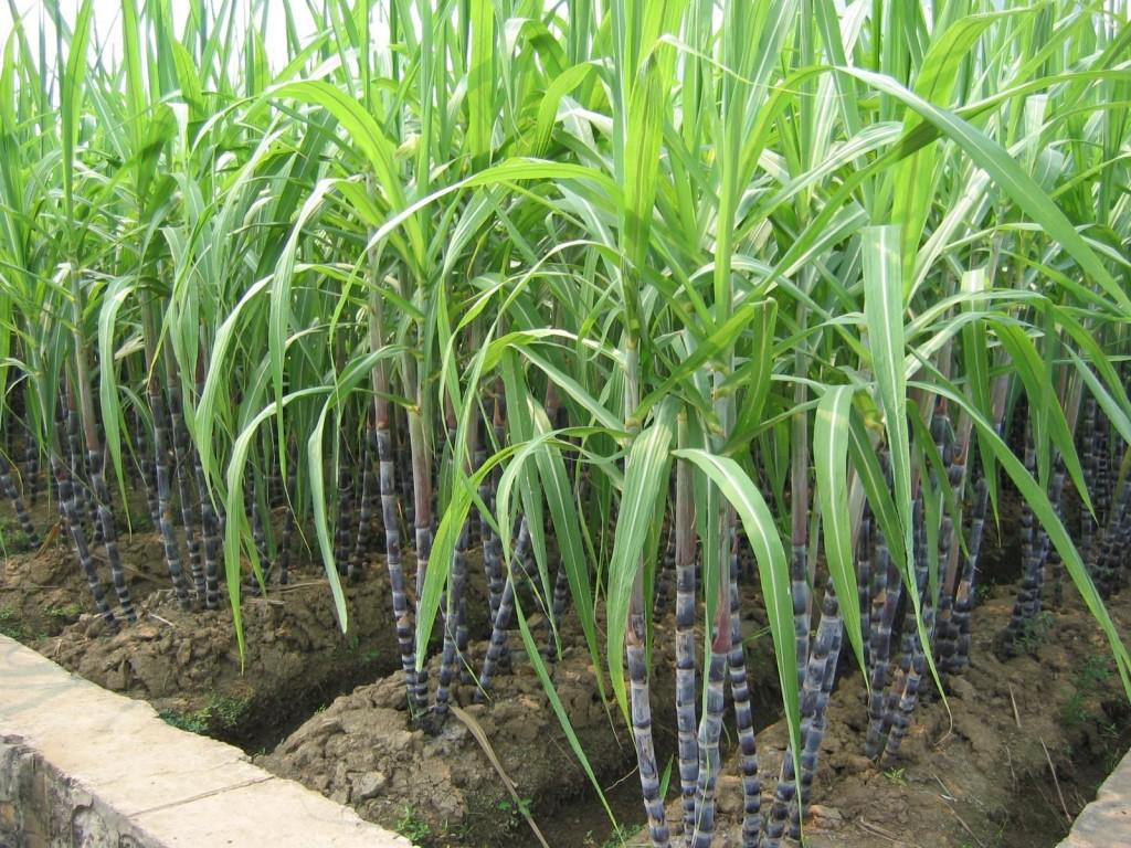 Zuckerrohr_Nigeria-1